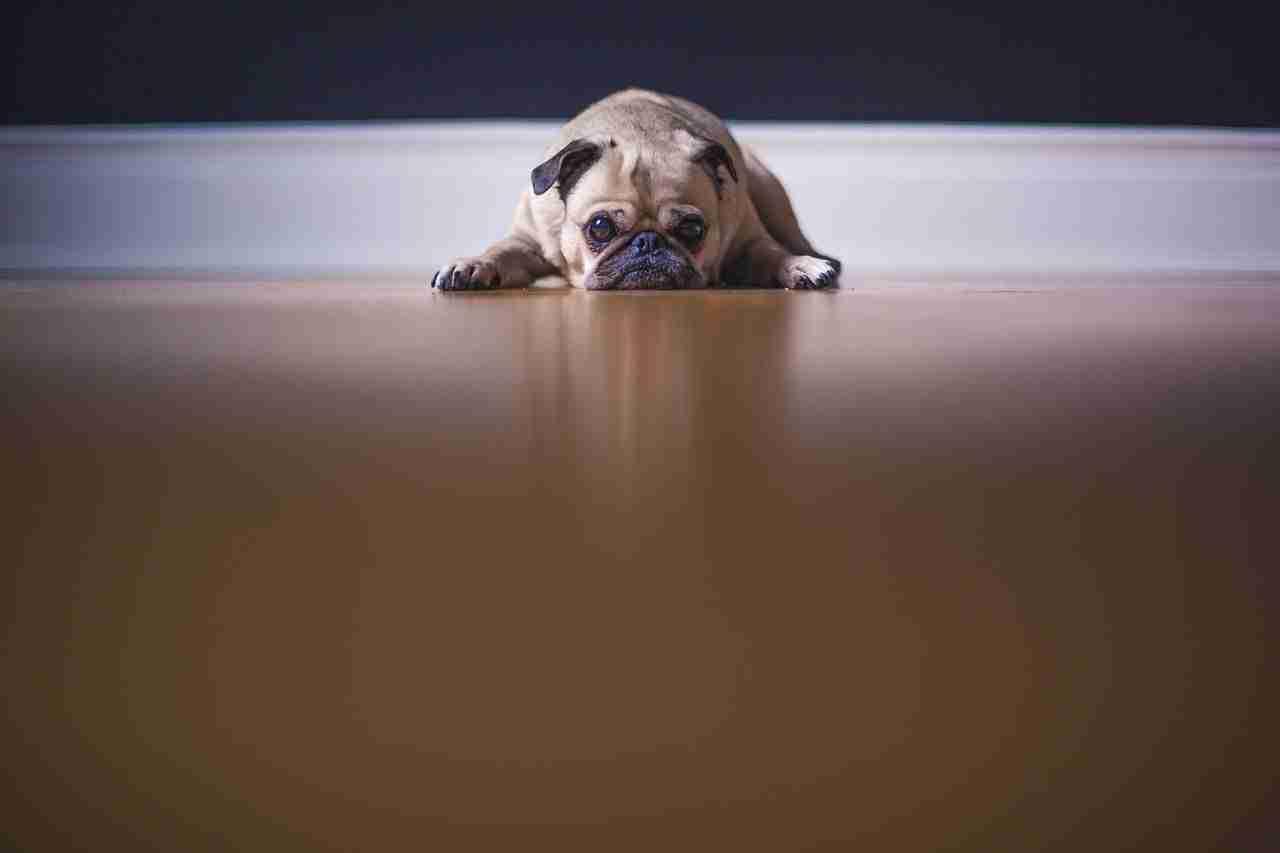 pug-laying